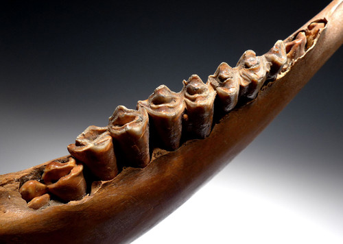 EXCEPTIONAL FOSSIL AUROCHS JAW WITH FULL DENTITION FROM ICE AGE EUROPE  *LMX252