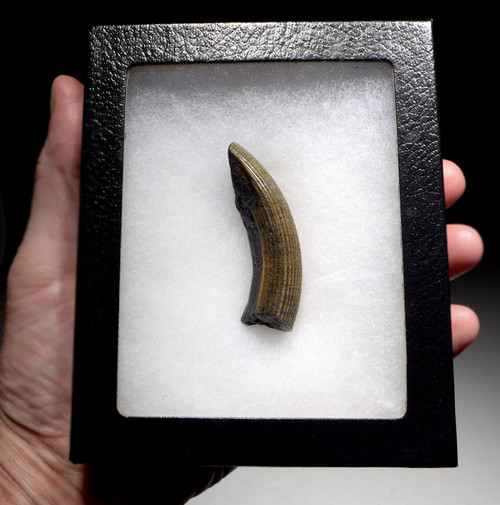 RARE IVORY GOLD FOSSIL TUSK INCISOR OF AN EXTINCT CASTOROIDES GIANT BEAVER  *LMX261