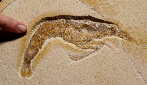 HUGE JURASSIC AEGER SHRIMP FOSSIL FROM SOLNHOFEN  *CRSX001