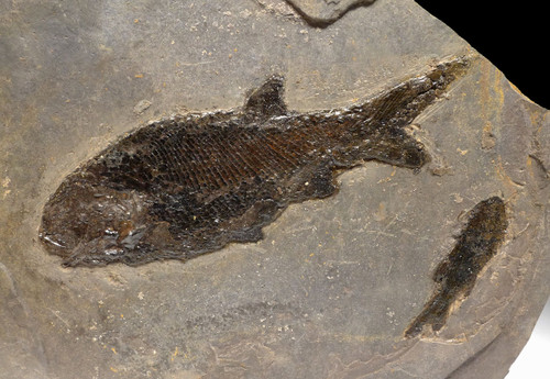 FINEST DOUBLE PARAMBLYPTERUS PERMIAN PRIMITIVE EARLY FISH FOSSIL FROM GERMANY  *F155