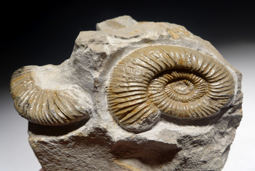 JURASSIC AMMONITE MASS EXTINCTION SEA LIFE FOSSIL  *AMX403
