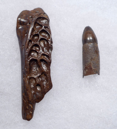 DINOSAUR-ERA FOSSIL LEIDYOSUCHUS CROCODILE TOOTH WITH JAW FRAGMENT FROM HELL CREEK  *CROC085