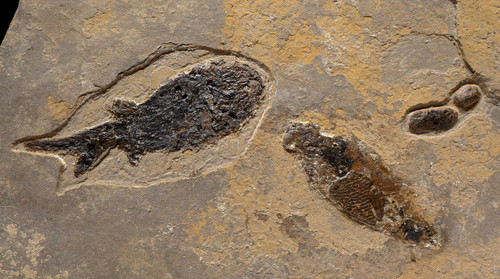 NATURAL MULTIPLE PARAMBLYPTERUS PERMIAN FISH FOSSIL FROM BEFORE THE DINOSAURS  *F86X