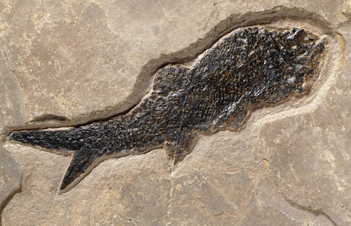 IMPRESSIVE LARGE PRIMITIVE PARAMBLYPTERUS FISH FOSSIL FROM THE PERMIAN BEFORE THE DINOSAURS  *F87X