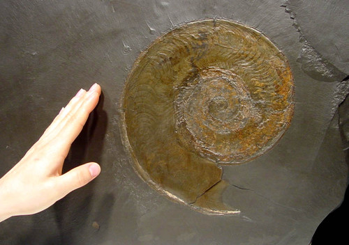 LARGE GOLDEN HARPOCERAS AMMONITE ON BLACK HOLZMADEN SHALE SLAB  *AMH-004