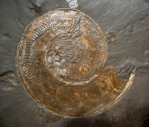 LARGE INTERIOR DESIGN FOSSIL LARGE DOUBLE JURASSIC GOLD AMMONITES ON BLACK SHALE SLAB *AMX307