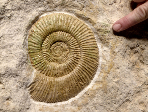 INTERIOR DESIGN FOSSIL JURASSIC AMMONITE ON THICK WHITE LIMESTONE *AMX346