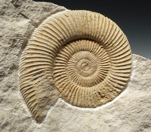 AMMONITE FOR INTERIOR DESIGN ACCENT