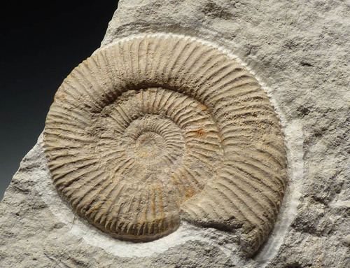 INTERIOR DESIGN FOSSIL JURASSIC AMMONITE ON THICK WHITE LIMESTONE BOULDER *AMX282