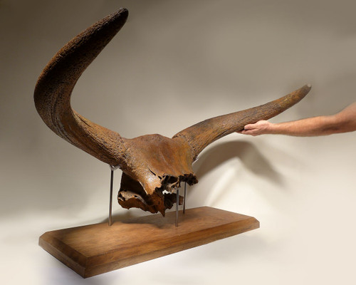 PREHISTORIC HUNTING TROPHY