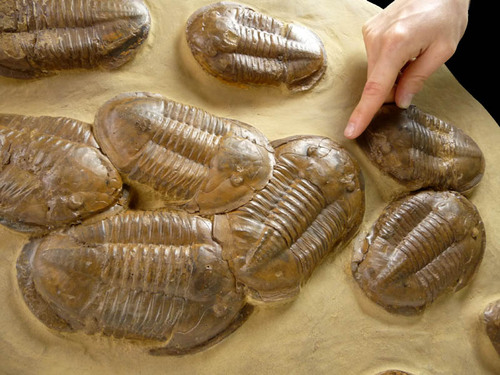 LARGE PREHISTORIC MASS EXTINCTION FOSSIL OF ASAPHUS TRILOBITES - THE OLDEST COMPLEX LIFE FORM  *TRX-018
