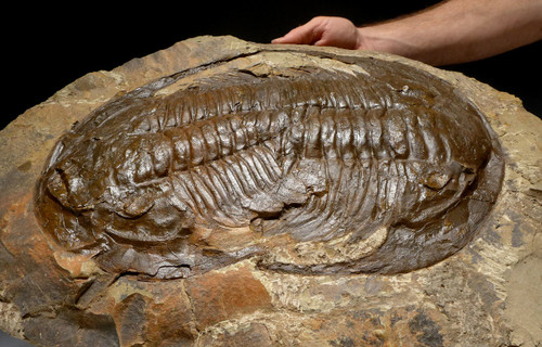 DOUBLE PARADOXIDES CAMBRIAN LARGE TRILOBITE