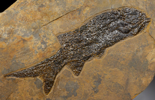 EARLIEST BONY FISH FOSSIL PERMIAN PARAMBLYPTERUS FROM BEFORE THE DINOSAURS *F165
