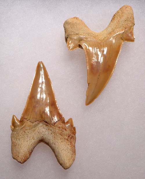 TWO LARGE PREMIUM FOSSIL MACKEREL SHARK OTODUS TEETH WITH UNRESTORED ROOTS  *OT013