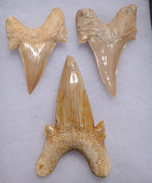 THREE LARGE PREMIUM FOSSIL MACKEREL SHARK OTODUS TEETH WITH UNRESTORED ROOTS  *OT003