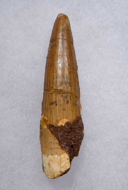 SPINOSAURUS FOSSIL DINOSAUR 2 INCH TOOTH WITH SHARP TIP  *DT5-500