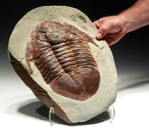 FINEST LARGE ASAPHUS TRILOBITE WITH SPECTACULAR COLOR AND PRESERVATION  *TRX029