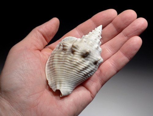 FINEST FOSSIL CONCH SEA SNAIL SHELL FROM A PREHISTORIC STROMBUS GASTROPOD  *GAP3