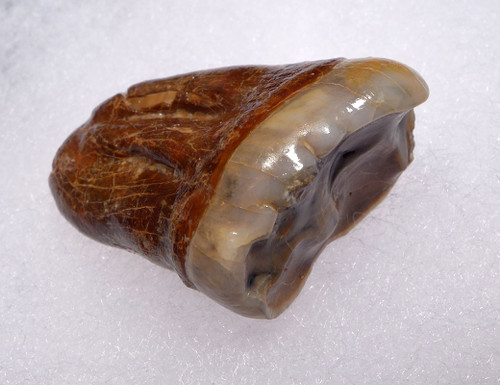 CAVE BEAR FOSSIL MOLAR TOOTH FROM FAMOUS DRACHENHOHLE DRAGONS CAVE AUSTRIA  *LM40-196