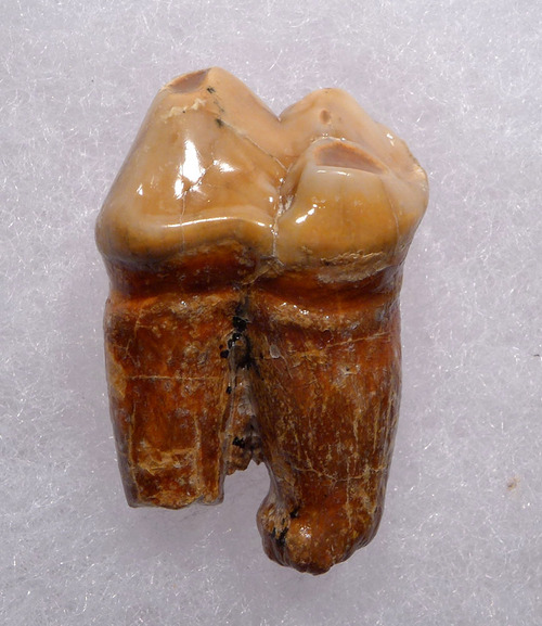 BEAUTIFUL CAVE BEAR FOSSIL MOLAR TOOTH FROM DRACHENHOHLE DRAGONS CAVE IN AUSTRIA  *LM40-201