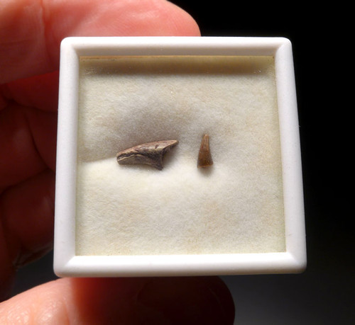 ERYOPS AMPHIBIAN FOSSIL CLAW AND TOOTH  *DT22X5