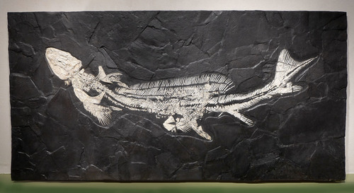 LARGEST KNOWN 8 FOOT GIANT FOSSIL SHARK ORTHACANTHUS (LEBACHACANTHUS) FROM THE PERMIAN *SHX1