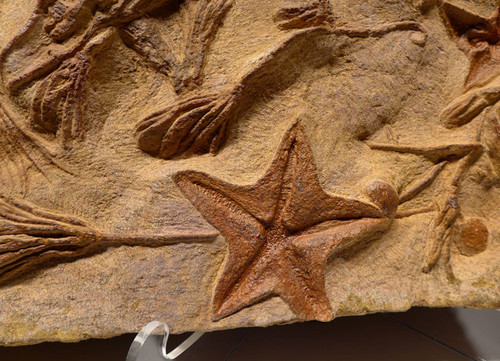 LARGE PREHISTORIC STARFISH AND SEA LILY CRINOID INTERIOR DESIGN ACCENT FOSSIL MASS EXTINCTION EVENT  *SF031