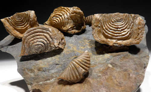 DEVONIAN BRACHIOPOD FOSSIL LEPTAENA AND MUCROSPIRIFER FROM SITE OF OLDEST TETRAPOD FOOTPRINTS  *BR035