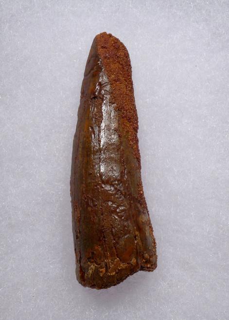 2.4 INCH SPINOSAURUS FOSSIL DINOSAUR TOOTH  *DT5-546