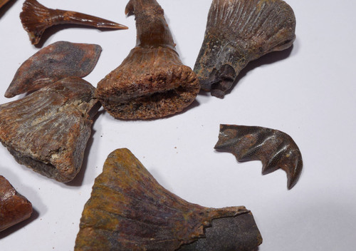20 FOSSIL ONCHOPRISTIS SAW SHARK AND LUNGFISH FOSSILS  *SHX095