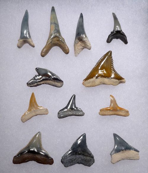 COLLECTION OF 12 PREMIUM BONE VALLEY FOSSIL SHARK TEETH  *SHX094