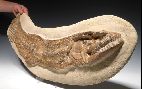 FINEST GIANT BOWFIN CALAMOPLEURUS FOSSIL FISH FROM THE DINOSAUR DAYS  *F145X