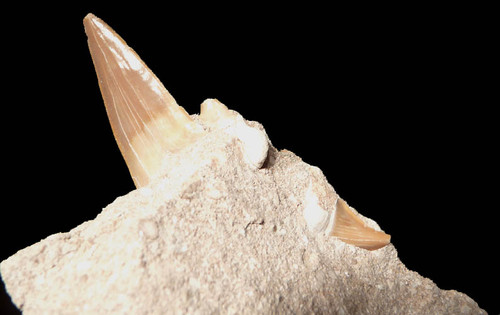 SH1-022 - FINE GRADE OTODUS OBLIQUUS FOSSIL SHARK TOOTH IN MATRIX