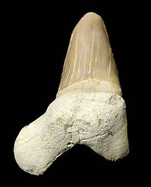 SH1-004 - PATHOLOGICALLY DEFORMED TWISTED OTODUS OBLIQUUS FOSSIL SHARK TOOTH FROM THE PALEOCENE PERIOD