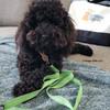 Bo wearing Coastal Pet K9 Explorer Brights Scissor Snap Dog Leash (36436)
