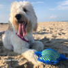 zoey loves beach day fun with rascals fetch alligator dog toy wearing pro waterproof harness