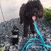 Bo wearing Pro Waterproof leash