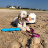 Zoey at the beach with her Pro Fit Stick and Coastal Pet Pro Waterproof leash and harness set
