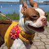 Looking Great wearing Accent Microfiber harness on dog close up vintage yellow with flower