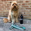 millerthelabradoodle wearing ribbon weave collar and leash