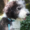 Henry Looks Handsome in his Coastal Pet Ribbon Weave Collar and Leash