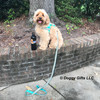 millerthelabradoodle wearing ribbon weave harness and leash