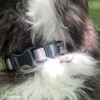 Henrythesheepadoodle wearing Coastal Pet Inspire In Grey Collar Detail