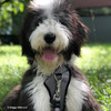 Henrythesheepadoodle wearing his Coastal Pet Inspire Leash on matching harness