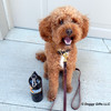 Kona looks so cute in his Coastal Pet Circle T Latigo Leather Town Collar and Leash With Brass Hardware
