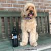 millerthelabradoodle wearing Coastal Pet Celebrations Halloween Dog Collar