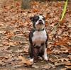 Coastal Pet Lazer Brite Reflective Adjustable Dog Collar and leash on dog