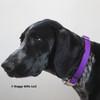Zenzi wearing Coastal Pet Metal Buckle Nylon Dog Collar PUR Purple
