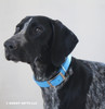 Zenzi looks awesome in her Coastal Pet Double Ply Standard Nylon Dog Collar (2901) Blue Lagoon BLL