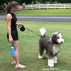Henrythesheepadoodle and Mom Walking With Power Walker Retractable Dog Leash